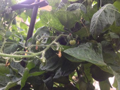 The fruit on the first truss of Irish Gardeners Delight cherry tomatoes (the left-most plant) are gradually growing in size.