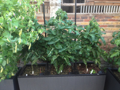 Flowering and fruiting Irish Gardeners Delight tomato plants are getting taller. The plants need some branches removed to increase airflow.