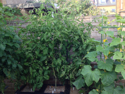 Flowering and fruiting Rose de Berne salad tomato plants. The size and weight of the plants is becoming unmanageable.