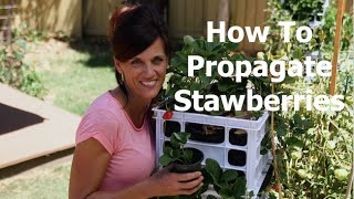 Thumbnail of YouTube video: How To Plant Strawberry Runners, the Easiest Way to Propagate Strawberries